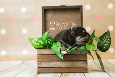 puppy82 week1 BowTiePomsky.com Bowtie Pomsky Puppy For Sale Husky Pomeranian Mini Dog Spokane WA Breeder Blue Eyes Pomskies Celebrity Puppy web5