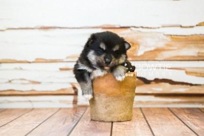 puppy82 week3 BowTiePomsky.com Bowtie Pomsky Puppy For Sale Husky Pomeranian Mini Dog Spokane WA Breeder Blue Eyes Pomskies Celebrity Puppy web3