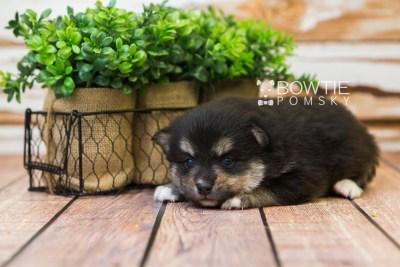 puppy82 week3 BowTiePomsky.com Bowtie Pomsky Puppy For Sale Husky Pomeranian Mini Dog Spokane WA Breeder Blue Eyes Pomskies Celebrity Puppy web4