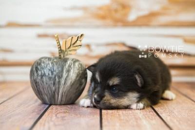 puppy82 week3 BowTiePomsky.com Bowtie Pomsky Puppy For Sale Husky Pomeranian Mini Dog Spokane WA Breeder Blue Eyes Pomskies Celebrity Puppy web5