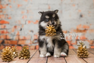 puppy82 week5 BowTiePomsky.com Bowtie Pomsky Puppy For Sale Husky Pomeranian Mini Dog Spokane WA Breeder Blue Eyes Pomskies Celebrity Puppy web3