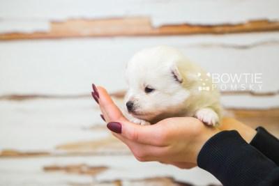puppy83 week3 BowTiePomsky.com Bowtie Pomsky Puppy For Sale Husky Pomeranian Mini Dog Spokane WA Breeder Blue Eyes Pomskies Celebrity Puppy web1