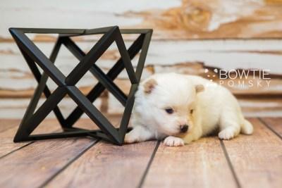 puppy83 week3 BowTiePomsky.com Bowtie Pomsky Puppy For Sale Husky Pomeranian Mini Dog Spokane WA Breeder Blue Eyes Pomskies Celebrity Puppy web6
