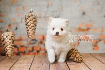 puppy83 week5 BowTiePomsky.com Bowtie Pomsky Puppy For Sale Husky Pomeranian Mini Dog Spokane WA Breeder Blue Eyes Pomskies Celebrity Puppy web6