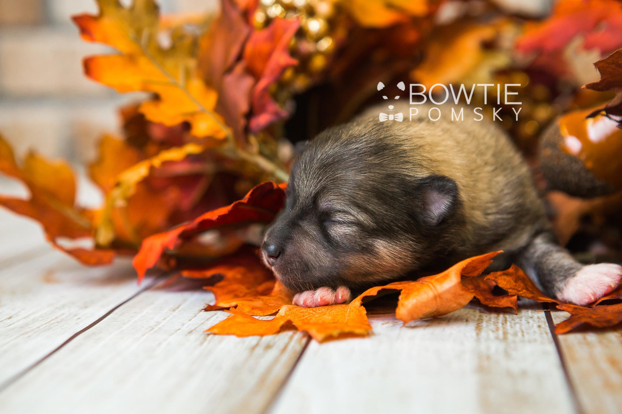 2nd Gen Puppy – Boy – Elijah - Bowtie Pomsky LLC