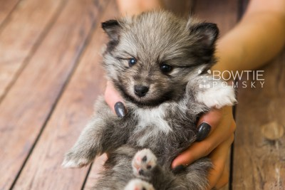 puppy84 week5 BowTiePomsky.com Bowtie Pomsky Puppy For Sale Husky Pomeranian Mini Dog Spokane WA Breeder Blue Eyes Pomskies Celebrity Puppy web3