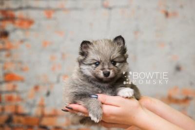 puppy84 week5 BowTiePomsky.com Bowtie Pomsky Puppy For Sale Husky Pomeranian Mini Dog Spokane WA Breeder Blue Eyes Pomskies Celebrity Puppy web4