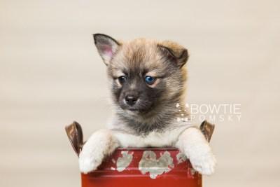 puppy77 week7 BowTiePomsky.com Bowtie Pomsky Puppy For Sale Husky Pomeranian Mini Dog Spokane WA Breeder Blue Eyes Pomskies Celebrity Puppy web1