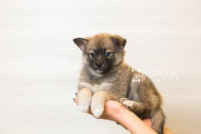 puppy77 week7 BowTiePomsky.com Bowtie Pomsky Puppy For Sale Husky Pomeranian Mini Dog Spokane WA Breeder Blue Eyes Pomskies Celebrity Puppy web4