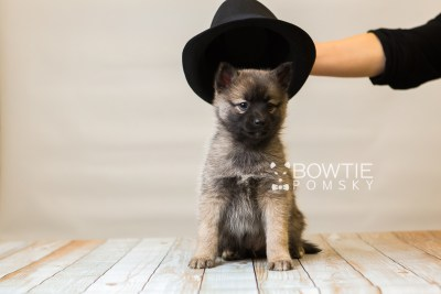 puppy79 week7 BowTiePomsky.com Bowtie Pomsky Puppy For Sale Husky Pomeranian Mini Dog Spokane WA Breeder Blue Eyes Pomskies Celebrity Puppy web4