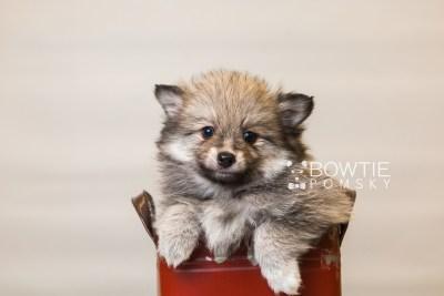 puppy84 week7 BowTiePomsky.com Bowtie Pomsky Puppy For Sale Husky Pomeranian Mini Dog Spokane WA Breeder Blue Eyes Pomskies Celebrity Puppy web1