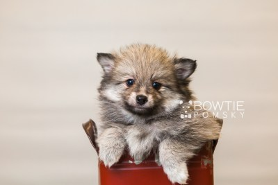 puppy84 week7 BowTiePomsky.com Bowtie Pomsky Puppy For Sale Husky Pomeranian Mini Dog Spokane WA Breeder Blue Eyes Pomskies Celebrity Puppy web1