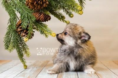 puppy84 week7 BowTiePomsky.com Bowtie Pomsky Puppy For Sale Husky Pomeranian Mini Dog Spokane WA Breeder Blue Eyes Pomskies Celebrity Puppy web2