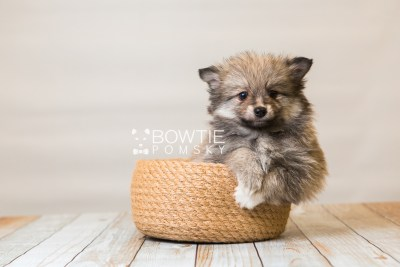 puppy84 week7 BowTiePomsky.com Bowtie Pomsky Puppy For Sale Husky Pomeranian Mini Dog Spokane WA Breeder Blue Eyes Pomskies Celebrity Puppy web3