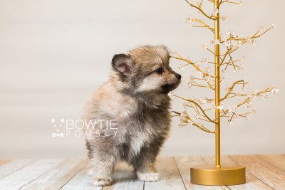 puppy84 week7 BowTiePomsky.com Bowtie Pomsky Puppy For Sale Husky Pomeranian Mini Dog Spokane WA Breeder Blue Eyes Pomskies Celebrity Puppy web4