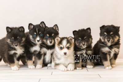 puppy85-90 week5 BowTiePomsky.com Bowtie Pomsky Puppy For Sale Husky Pomeranian Mini Dog Spokane WA Breeder Blue Eyes Pomskies Celebrity Puppy web1