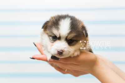 puppy85 week3 BowTiePomsky.com Bowtie Pomsky Puppy For Sale Husky Pomeranian Mini Dog Spokane WA Breeder Blue Eyes Pomskies Celebrity Puppy web1
