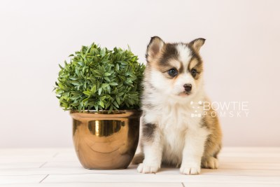 puppy85 week5 BowTiePomsky.com Bowtie Pomsky Puppy For Sale Husky Pomeranian Mini Dog Spokane WA Breeder Blue Eyes Pomskies Celebrity Puppy web2