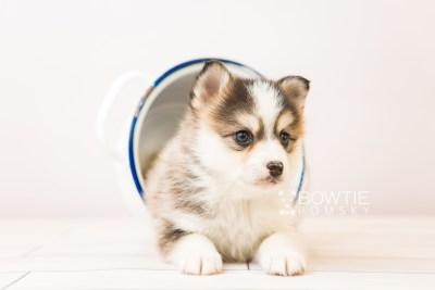 puppy85 week5 BowTiePomsky.com Bowtie Pomsky Puppy For Sale Husky Pomeranian Mini Dog Spokane WA Breeder Blue Eyes Pomskies Celebrity Puppy web3