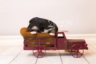 puppy86 week1 BowTiePomsky.com Bowtie Pomsky Puppy For Sale Husky Pomeranian Mini Dog Spokane WA Breeder Blue Eyes Pomskies Celebrity Puppy web2