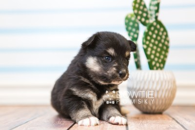 puppy86 week3 BowTiePomsky.com Bowtie Pomsky Puppy For Sale Husky Pomeranian Mini Dog Spokane WA Breeder Blue Eyes Pomskies Celebrity Puppy web2