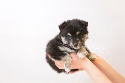 puppy86 week5 BowTiePomsky.com Bowtie Pomsky Puppy For Sale Husky Pomeranian Mini Dog Spokane WA Breeder Blue Eyes Pomskies Celebrity Puppy web1