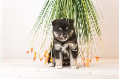 puppy86 week5 BowTiePomsky.com Bowtie Pomsky Puppy For Sale Husky Pomeranian Mini Dog Spokane WA Breeder Blue Eyes Pomskies Celebrity Puppy web3