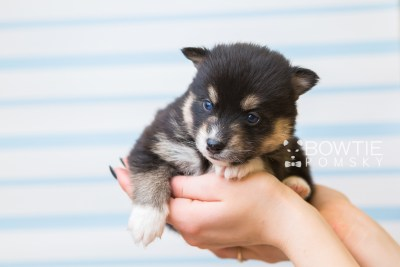 puppy87 week3 BowTiePomsky.com Bowtie Pomsky Puppy For Sale Husky Pomeranian Mini Dog Spokane WA Breeder Blue Eyes Pomskies Celebrity Puppy web1