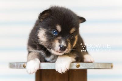 puppy87 week3 BowTiePomsky.com Bowtie Pomsky Puppy For Sale Husky Pomeranian Mini Dog Spokane WA Breeder Blue Eyes Pomskies Celebrity Puppy web4