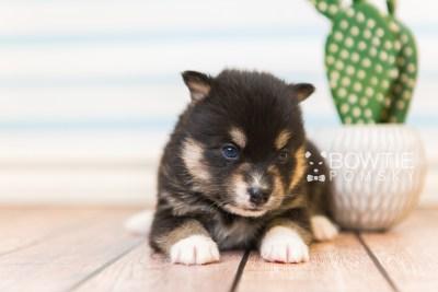puppy87 week3 BowTiePomsky.com Bowtie Pomsky Puppy For Sale Husky Pomeranian Mini Dog Spokane WA Breeder Blue Eyes Pomskies Celebrity Puppy web6