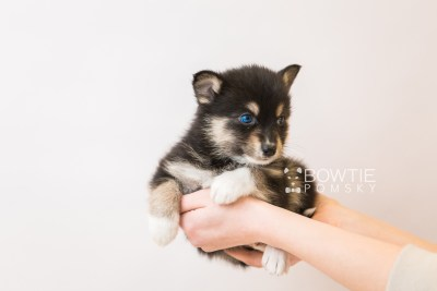 puppy87 week5 BowTiePomsky.com Bowtie Pomsky Puppy For Sale Husky Pomeranian Mini Dog Spokane WA Breeder Blue Eyes Pomskies Celebrity Puppy web1