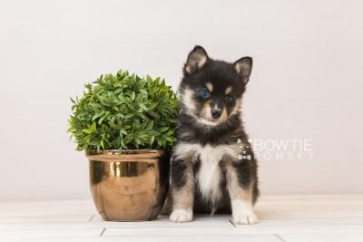 puppy87 week5 BowTiePomsky.com Bowtie Pomsky Puppy For Sale Husky Pomeranian Mini Dog Spokane WA Breeder Blue Eyes Pomskies Celebrity Puppy web3