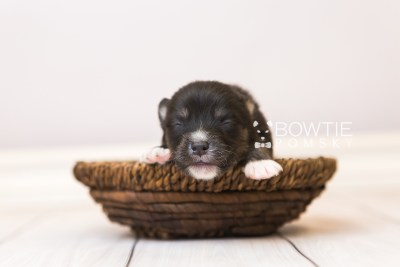 puppy88 week1 BowTiePomsky.com Bowtie Pomsky Puppy For Sale Husky Pomeranian Mini Dog Spokane WA Breeder Blue Eyes Pomskies Celebrity Puppy web1