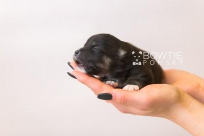 puppy88 week1 BowTiePomsky.com Bowtie Pomsky Puppy For Sale Husky Pomeranian Mini Dog Spokane WA Breeder Blue Eyes Pomskies Celebrity Puppy web3