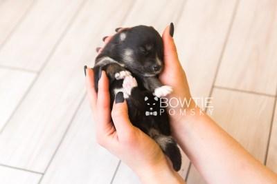 puppy88 week1 BowTiePomsky.com Bowtie Pomsky Puppy For Sale Husky Pomeranian Mini Dog Spokane WA Breeder Blue Eyes Pomskies Celebrity Puppy web4