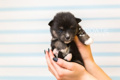 puppy88 week3 BowTiePomsky.com Bowtie Pomsky Puppy For Sale Husky Pomeranian Mini Dog Spokane WA Breeder Blue Eyes Pomskies Celebrity Puppy web2