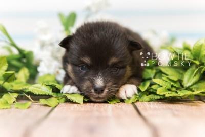 puppy88 week3 BowTiePomsky.com Bowtie Pomsky Puppy For Sale Husky Pomeranian Mini Dog Spokane WA Breeder Blue Eyes Pomskies Celebrity Puppy web4
