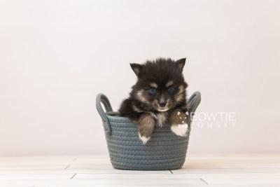 puppy88 week5 BowTiePomsky.com Bowtie Pomsky Puppy For Sale Husky Pomeranian Mini Dog Spokane WA Breeder Blue Eyes Pomskies Celebrity Puppy web3