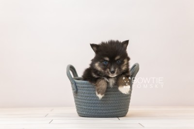 puppy88 week5 BowTiePomsky.com Bowtie Pomsky Puppy For Sale Husky Pomeranian Mini Dog Spokane WA Breeder Blue Eyes Pomskies Celebrity Puppy web3