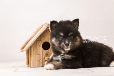 puppy88 week5 BowTiePomsky.com Bowtie Pomsky Puppy For Sale Husky Pomeranian Mini Dog Spokane WA Breeder Blue Eyes Pomskies Celebrity Puppy web5