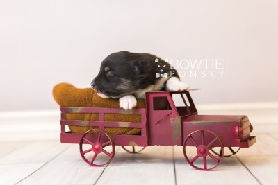puppy89 week1 BowTiePomsky.com Bowtie Pomsky Puppy For Sale Husky Pomeranian Mini Dog Spokane WA Breeder Blue Eyes Pomskies Celebrity Puppy web2