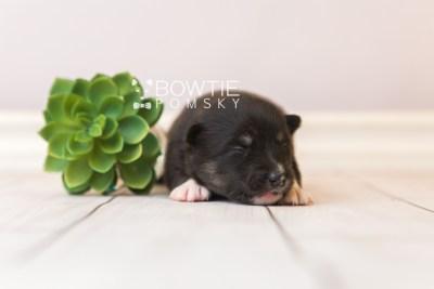 puppy89 week1 BowTiePomsky.com Bowtie Pomsky Puppy For Sale Husky Pomeranian Mini Dog Spokane WA Breeder Blue Eyes Pomskies Celebrity Puppy web3