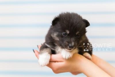 puppy89 week3 BowTiePomsky.com Bowtie Pomsky Puppy For Sale Husky Pomeranian Mini Dog Spokane WA Breeder Blue Eyes Pomskies Celebrity Puppy web1