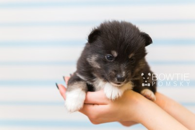 puppy89 week3 BowTiePomsky.com Bowtie Pomsky Puppy For Sale Husky Pomeranian Mini Dog Spokane WA Breeder Blue Eyes Pomskies Celebrity Puppy web1