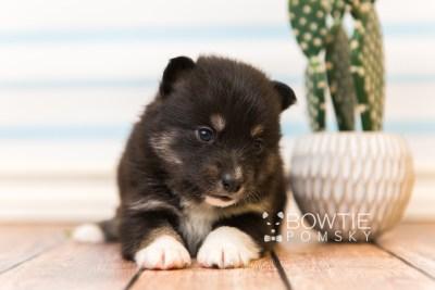puppy89 week3 BowTiePomsky.com Bowtie Pomsky Puppy For Sale Husky Pomeranian Mini Dog Spokane WA Breeder Blue Eyes Pomskies Celebrity Puppy web3