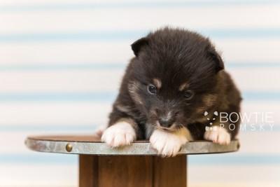 puppy89 week3 BowTiePomsky.com Bowtie Pomsky Puppy For Sale Husky Pomeranian Mini Dog Spokane WA Breeder Blue Eyes Pomskies Celebrity Puppy web4