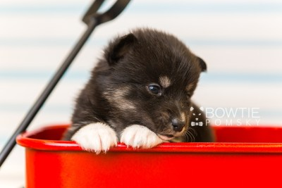 puppy89 week3 BowTiePomsky.com Bowtie Pomsky Puppy For Sale Husky Pomeranian Mini Dog Spokane WA Breeder Blue Eyes Pomskies Celebrity Puppy web6