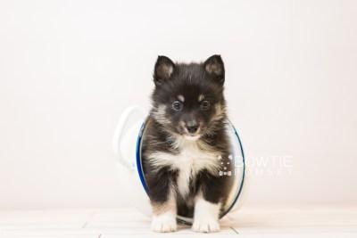 puppy89 week5 BowTiePomsky.com Bowtie Pomsky Puppy For Sale Husky Pomeranian Mini Dog Spokane WA Breeder Blue Eyes Pomskies Celebrity Puppy web3