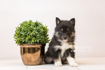 puppy89 week5 BowTiePomsky.com Bowtie Pomsky Puppy For Sale Husky Pomeranian Mini Dog Spokane WA Breeder Blue Eyes Pomskies Celebrity Puppy web6