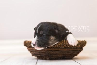 puppy90 week1 BowTiePomsky.com Bowtie Pomsky Puppy For Sale Husky Pomeranian Mini Dog Spokane WA Breeder Blue Eyes Pomskies Celebrity Puppy web1